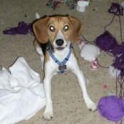 John Boy (Beagle)