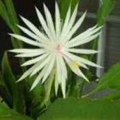 white cereus flower