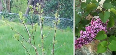 Garden: Lilacs