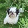 Venom (Toy Shih-tzu) - white dog with black ears