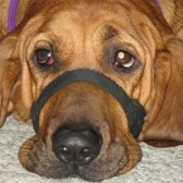 Luke (Redbone Hound Dog)