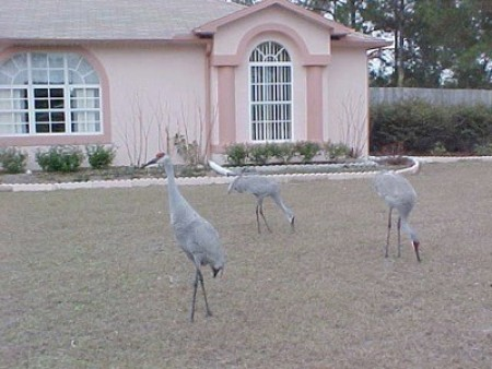 Three sandhill cranes in front of a pink house.