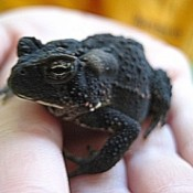 child's hand holding a dark colored toad