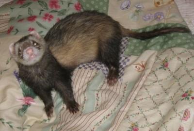Buddy (Ferret)