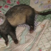 Buddy (Ferret)