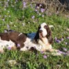 Winston (English Springer Spaniel)