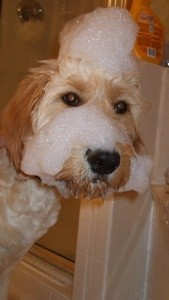 Closeup of dog with soap suds on his face.