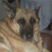Closeup of Shepherd.