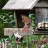 Cardinal and Woodpecker