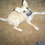 A dog who may be a German Shepard mixed breed.