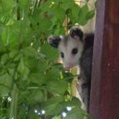 Cute baby possum.