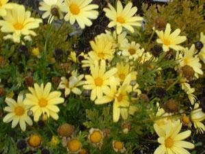 Yellow daisylike flowers.