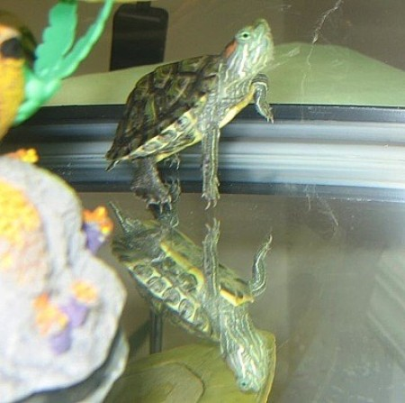 Tater (Red Eared Slider)
