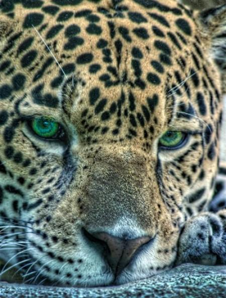 A close up of a jaguar.