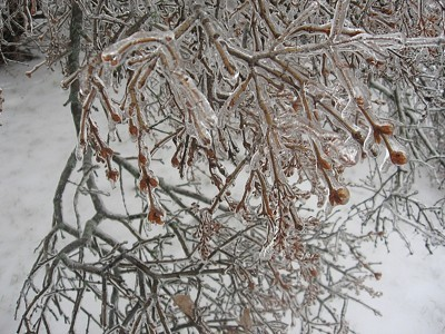 Tree covered with ice.