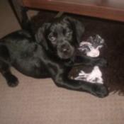 Beau (Lab/Rottweiler)