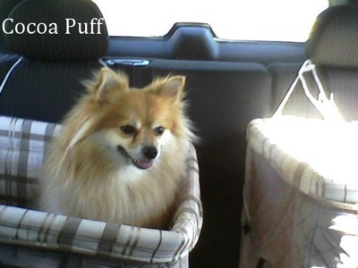 Cocoa, a Pomeranian, riding in a car.