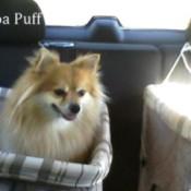Cocoa, a Pomeranian, riding in a car.