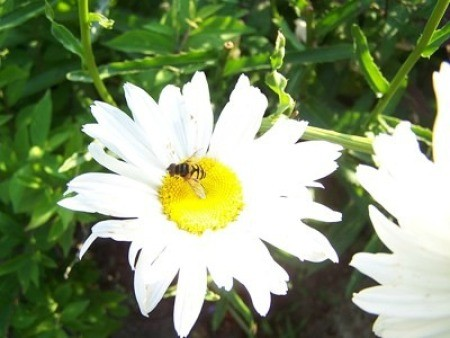 A white daisy with a bee on it.