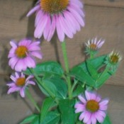 Garden: Purple Coneflower