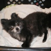 Elderly black Pomeranian