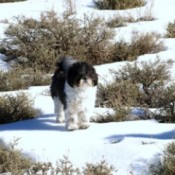 Sir Victor (Shih-Tzu) - Black and white Dog in the snow among shrubs.