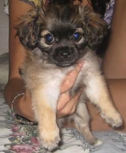 Cream and dark brown puppy.