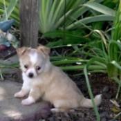 Tia (Long Haired Chihuahua)