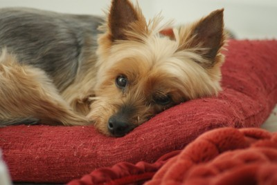 A dog lying on a red blanket.