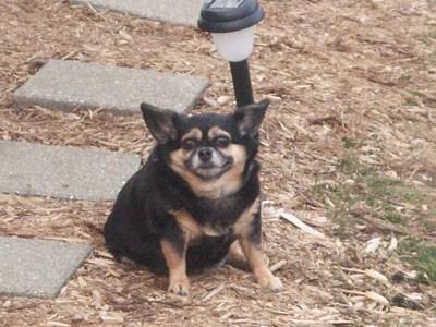 Small black and tan dog.