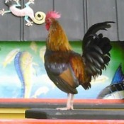 Key West Rooster (FL)
