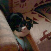 Oreo (American Shorthair Cat)