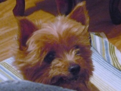 Penny-Candy (Yorkshire Terrier)
