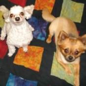 Miss Mollie (Long-Hair Chihuahua)