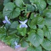 Violet plant.