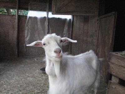 Jilly (Angora Goat)