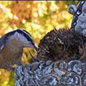 A nuthatch at a birdbath in a backyard.