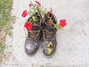 petunias growing in old boots