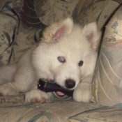 white husky pup