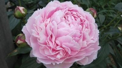 A large pink peony blossom.