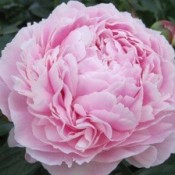 A large pink peony blossom.