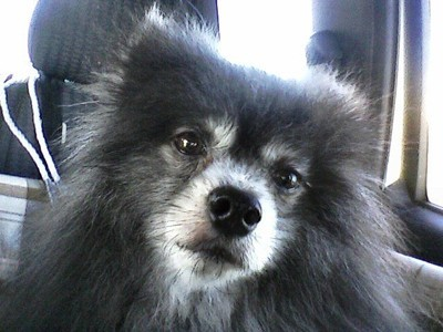 Cubby, a black Pomeranian with a gray muzzle.