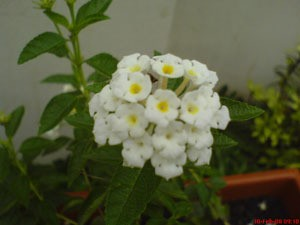 A white cluster of flowers.