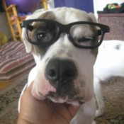 Closeup of Petey with glasses.