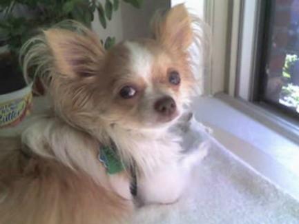 Chili (Long Haired Chihuahua)