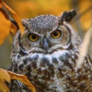 Wildlife: Horned Owl