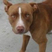 Tyson (Pitbull)