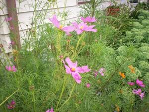 Pink cosmos in garden.