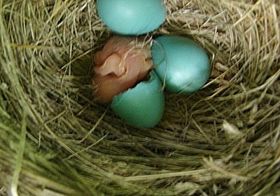 Baby robin in nest with other eggs.