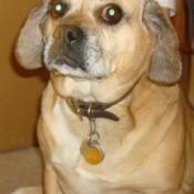 Closeup of tan dog.